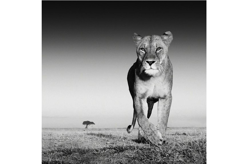 David Yarrow - The Prize, 2012