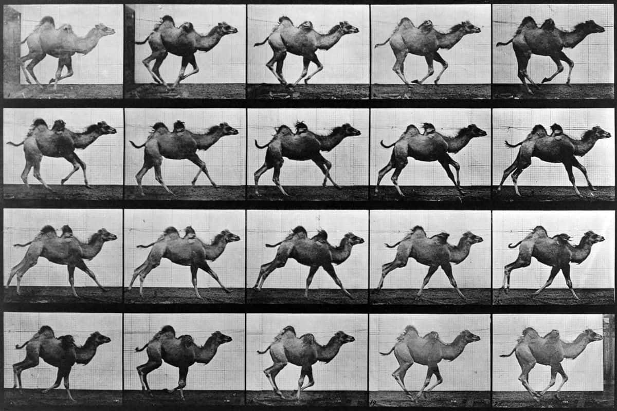 Eadweard Muybridge - Camel in Motion (hooves moving); at thames kingston ground near stanford