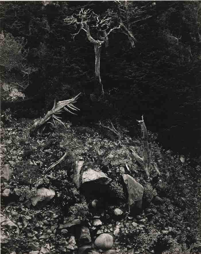 Edward Weston-Cypress And Stone Crop Point Lobos-1946