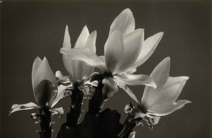 Harry Waddle - Cactus Blossoms (detail)