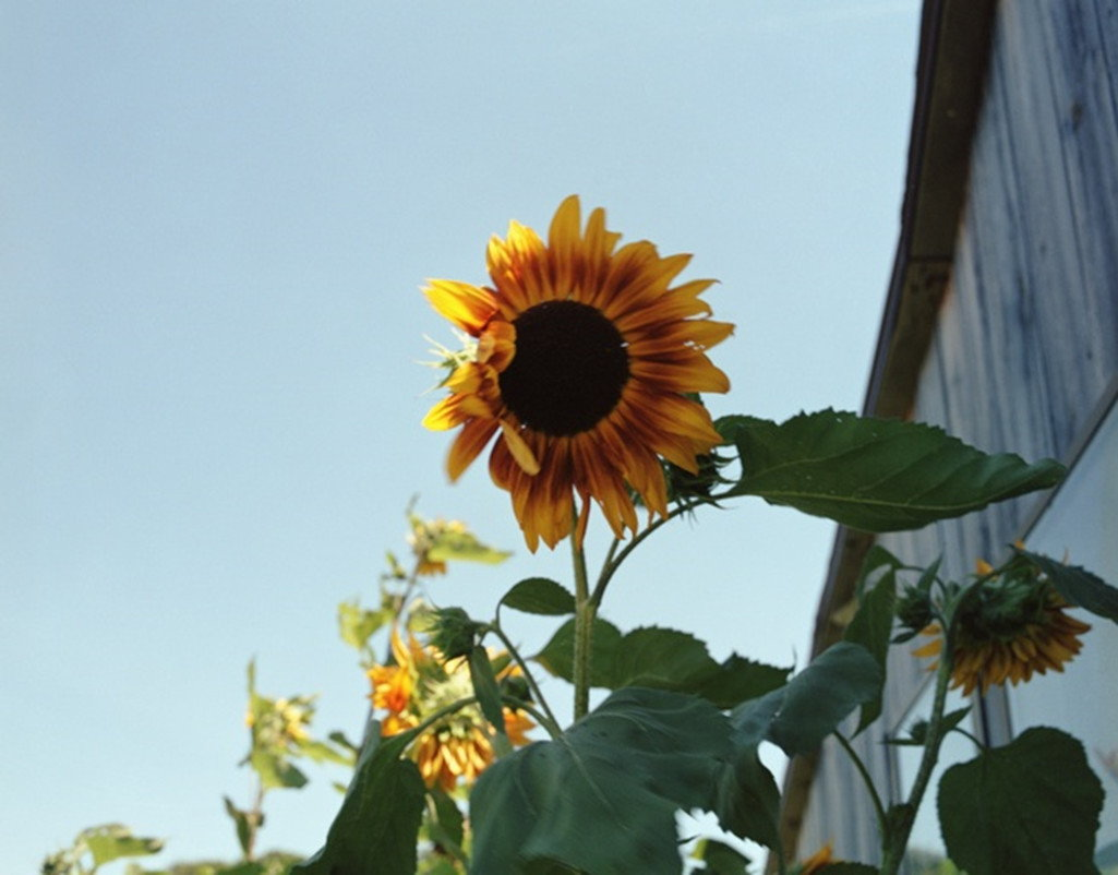 James Welling-Sunflowers, Phillies Bridge Farm, New Paltz, NY-2002