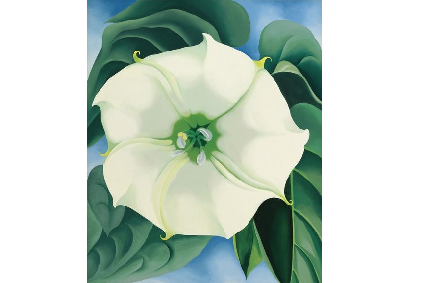 Jimson Weed White Flower No. 1