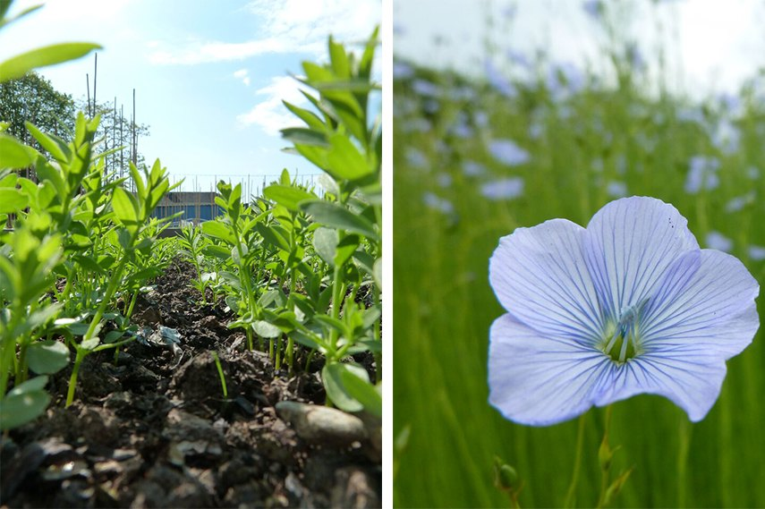 Left: Adrian Mundy – Flax Seedlings / Right: Adrian Mundy – Flax Flower