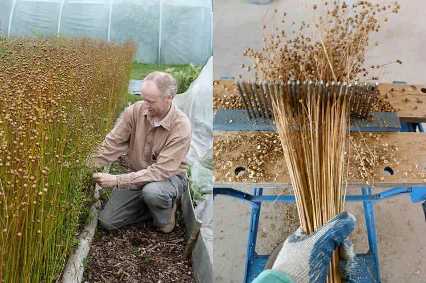 Left Adrian Mundy - flax harvest portrait and Right Adrian Mundy - Stripping seeds