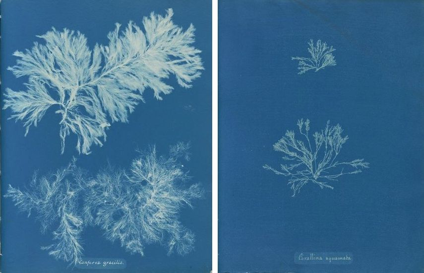 Anna Atkins Cyanotypes, as seen in many museum books