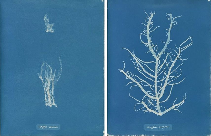 Lyngbya speciosa, Mesogloia purpurea