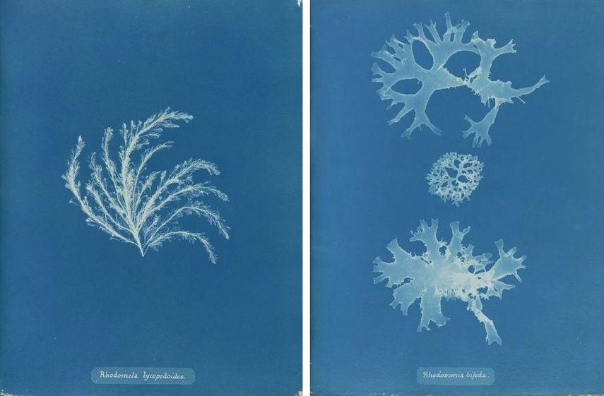 Rhodomela lycopodioides, Rhodomenia bifida