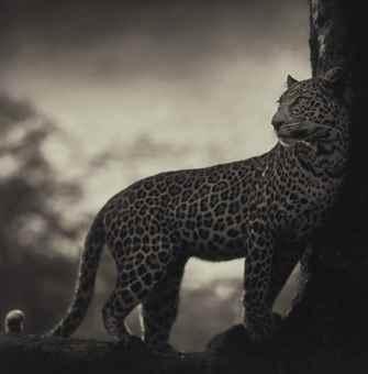 Nick Brandt-Leopard in Crook of Tree, Nakuru-2007