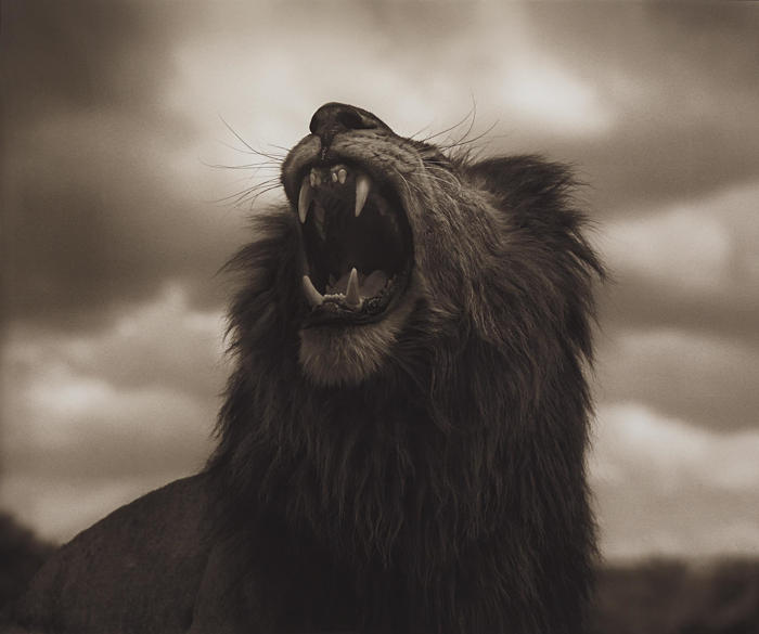 Nick Brandt-Lion Roar, Maasai Mara from Across the Ravaged Land-2012