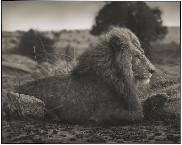 Nick Brandt-Lion on Burned Ground, Serengeti-2012