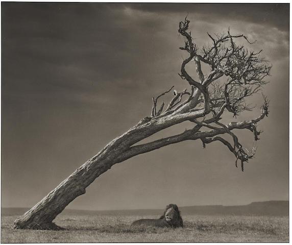 Nick Brandt-Lion under Leaning Tree, Maasai Mara-2008