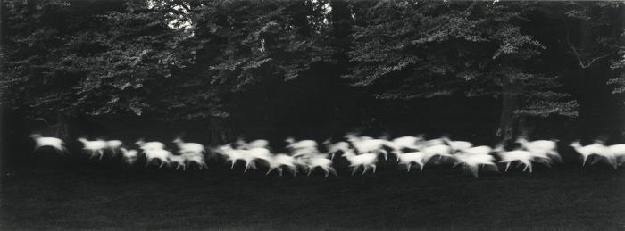 Paul Caponigro-Running White Deer-1967