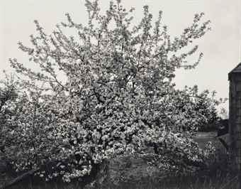 Paul Strand-Apple Tree in Full Bloom, Maine-1946
