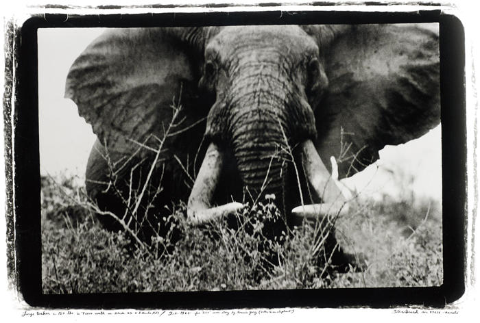 Peter Beard-Large tusker (c. 150 lbs per side), Tsavo North, nr. block 33 & Ithumber Hill, Feb.-1965