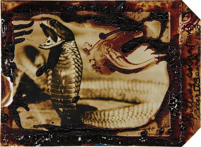 Peter Beard-Spitting Cobra (Tsavo)-1960