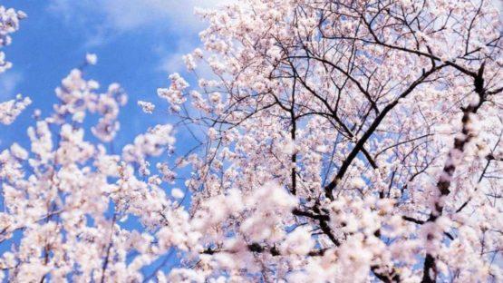 Risaku Suzuki - Kumano, Yuki, Sakura (detail)