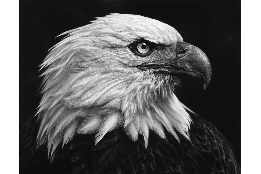 Robert Longo - Untitled (American Bald Eagle) 2017