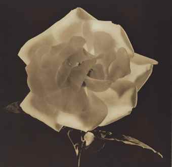 Robert Mapplethorpe-Dark Sepia Rose from Flowers-1988