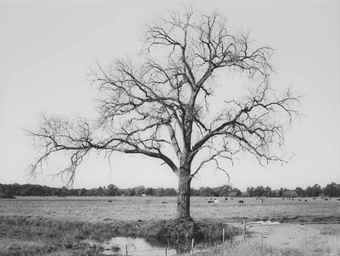 Rodney Graham-Oak Tree Red Bluff (2)-2000