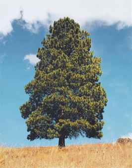 Rodney Graham-Ponderosa Pine No. 3-1992