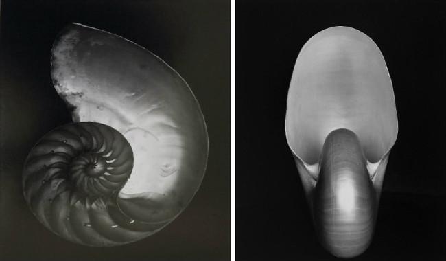Shell 1927 Photograph by Edward Weston