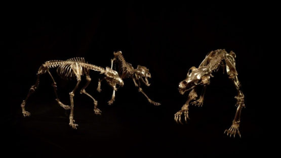 Stephen Cawston - Kodiak brown Bear, grey Wolf skeletons