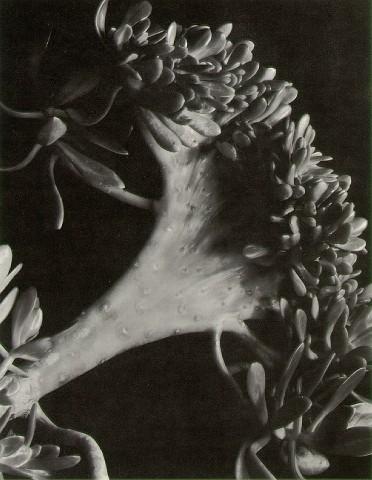Imogen Cunningham - Succulent, 1920