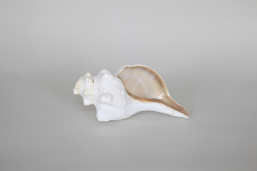 Susan Philipsz The Wind Rose Triplofusus Giganteus Horse Conch Florida