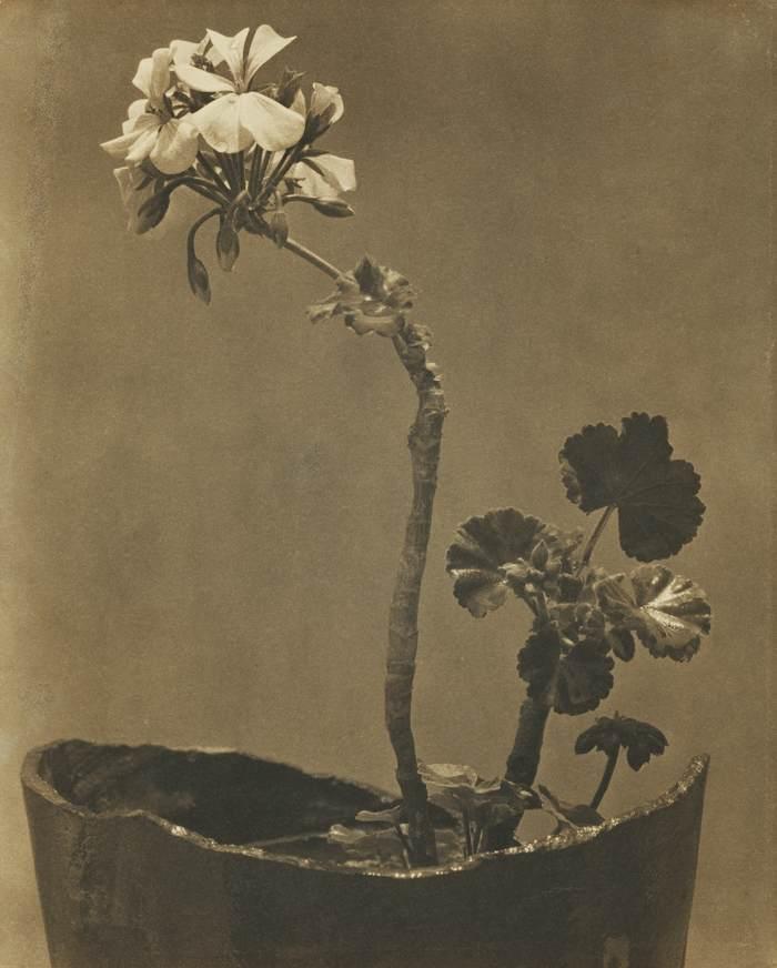 Tina Modotti-Geranio-1925