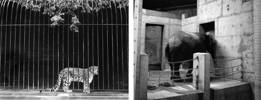 Volker Seding - Snow Leopard, Madison, Wisconsin, Animal Kingdom Series (Left) / Elephant, Toronto, Animal Kingdom Series (Right) gallery 1999 print home 2002 help